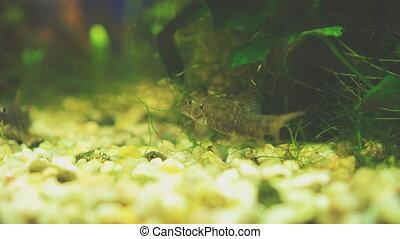 Freshwater catfish in home aquarium. Corydoras paleatus.