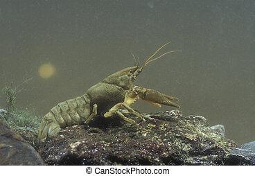 Freshwater crayfish, Austropotamobius pallipes, single ...