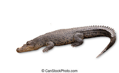Freshwater crocodile isolated on white with clipping path.