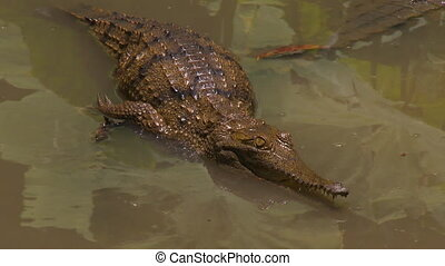 Freshwater crocodile waiting in shallow water - Wide high...