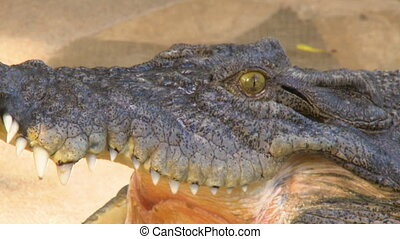 Freshwater Crocodile's Head And Open Mouth - Steady, close...