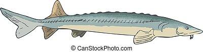 freshwater, esturjão, trophyodes, predatório, peixe, médio,...