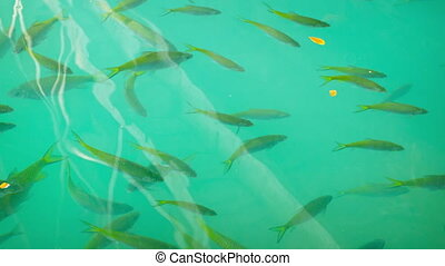 Freshwater fish in a tropical pond under a wooden bridge....