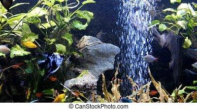 school of freshwater fish, scalar in the aquarium. underwater plants algae
