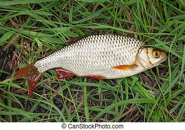 Single common rudd fish on green grass.