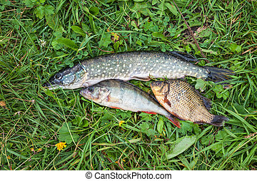 Freshwater fish on the green grass