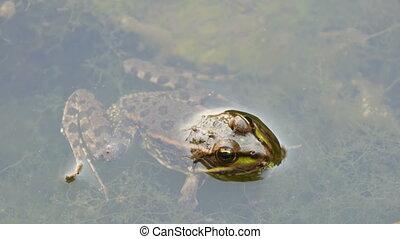 Freshwater frog sitting in water - Freshwater frog sitting...