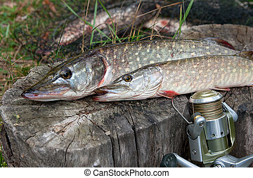 Freshwater pike fish lies on a wooden hemp and fishing rod with reel.