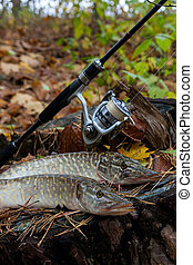 Freshwater pike fish lies on a wooden hemp and fishing rod...