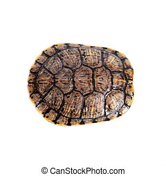 Freshwater red-eared turtle on white - Freshwater red-eared...