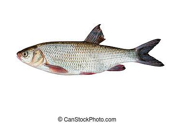 freshwater ryba, ide, białe tło