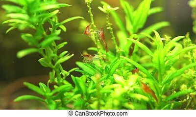 Freshwater shrimps in freshwater aquarium. Neocaridina davidi or Rili shrimp.