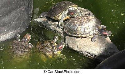 Freshwater tortoise (LAT. Trachemys scripta) on a summer day