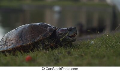 Freshwater turtle breaching land for a snack. Cinematic 4K footage.