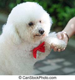 freundschaft, zwischen, menschliche , und, hund, -, schüttelnde hand, und, pfote