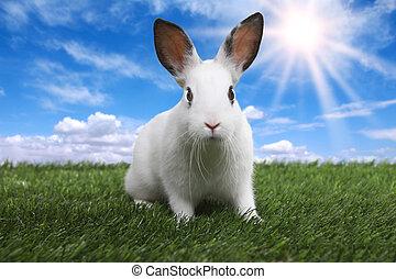 fridfull, äng, fjäder, solig, fält, kanin