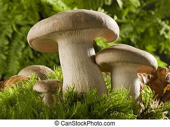 mushroom - Fried Chicken mushroom on moss close up shoot