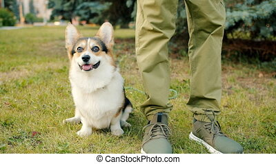 Friendly and obedient doggy welsh corgi breed sitting on ...