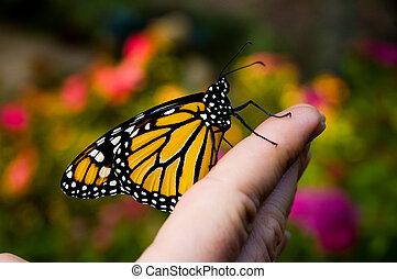 Friendly butterfly - Monarch butterfly on a male hand ready...