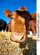 friendly cattle on straw with blue sky - mouth of friendly...