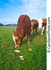 friendly cattles on green granzing land are trusty -...