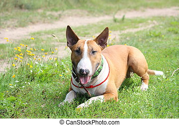 Friendly English bull terrier resting on the ground -...