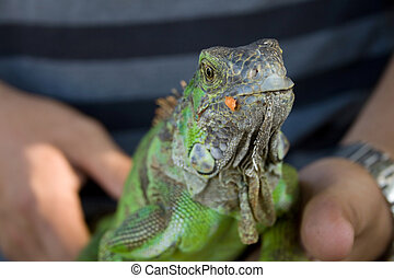 friendly iguana - a man holding a friendly green iguana