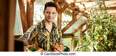 Friendly man harvesting fresh tomatoes from the greenhouse ...