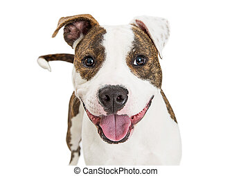 Friendly Pit Bull Dog Closeup Over White