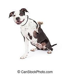 Friendly Pit Bull Dog Raising Paw - A beautiful black and ...