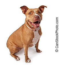 Friendly Pit bull dog isolated on white