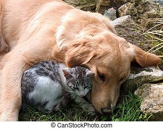 Best friends, domestic cat and golden retriever.