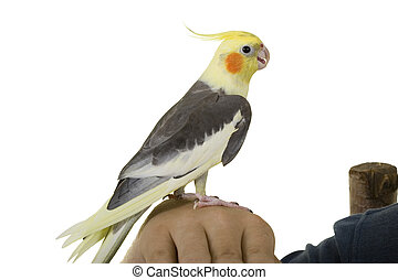 Friend\\\'s Talk - Cockatiel on owner\\\'s arm; on white...