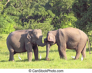 friends - two elephants with egrets in wasgomuwa national ...