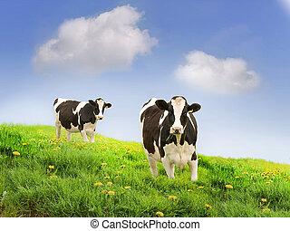 friesan, milking, koien, in, een, groene, field.