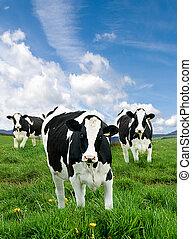 friesian, 젖을 짬, 암소, 에서, 녹색, pasture.