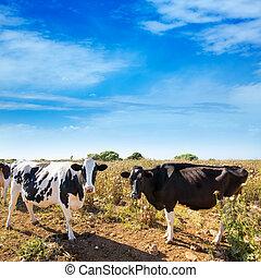 friesian, ciutadella, menorca, bétail, vaches, pâturage