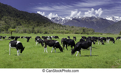 dairy cows grazing in a field with New Zealand mountain in the distance