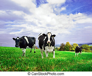 Friesian Dairy cows in a green pasture.