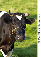 Friesian dairy milch cow on field