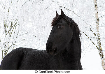 Friesian horse in winter with snow covered trees