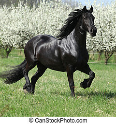 Friesian mare in front of flowering plum trees - Friesian ...