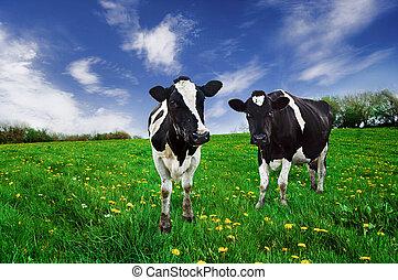 friesian, melkinrichting, koien, in, een, pasture.