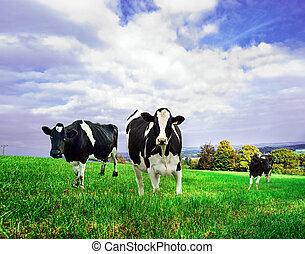 friesian, tejcsarnok, lidércek, alatt, egy, zöld, pasture.