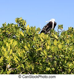 frigate baby bird in Contoy island mangroves Quintana Roo