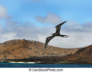 Frigate Bird - A frigate bird soars high over the ocean with...