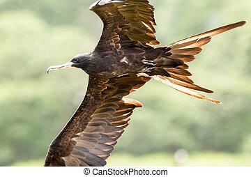 Frigate Bird In Flight Close Up