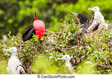 Frigate Bird Male - Frigate Bird Family With Predominant...