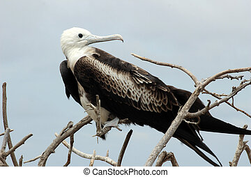 Frigate Bird on a Branch - A Magnificent Frigate Bird...