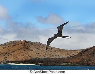 Frigate Bird - A frigate bird soars high over the ocean with...